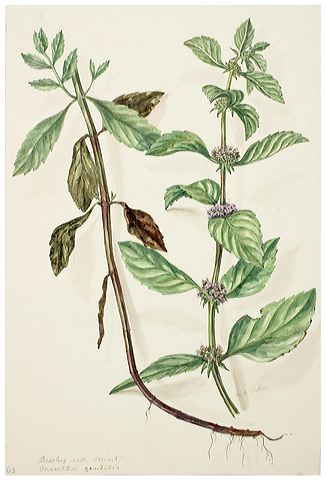 Herbal Friday: Bo He aka Mint | ACUEMMA